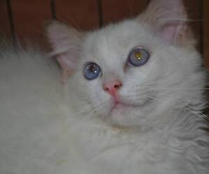 Stunning Ragdoll Quality Lilac male Kitten REDUCED Murrumba Downs Pine Rivers Area Preview