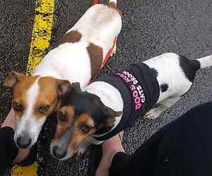 FREE - 2 Male Jack Russell x Foxy..Both MALES Elanora Gold Coast South Preview