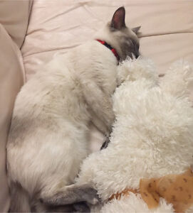Looking for a male ragdoll kitten for mating