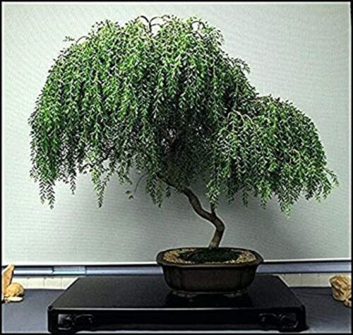 Bonsai Dwarf Weeping Willow Tree - Thick Trunk Cutting - Indoor/Outdoor Live Tre