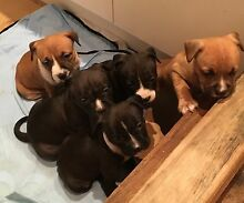 PURE BRED AMERICAN STAFFY PUPS Andrews Farm Playford Area Preview