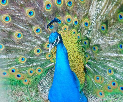 1 Pure India Blue Peacock Peafowl Hatching Eggs- Fertility Guaranteed! Insured!