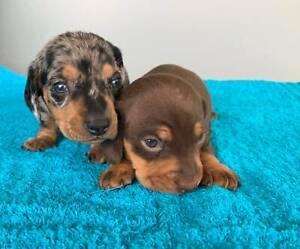 Dachshund In Macksville 2447 Nsw Dogs Puppies Gumtree