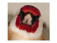 Northern goldfinch and pair bullfinch for sale