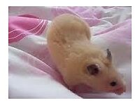 Hamster must go to a good home!