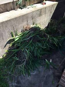 agapanthus - FREE to pick up Casula Liverpool Area Preview