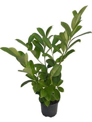 10 Cherry Laurel Hedging - 2L Pots - 40-60cm - Bushy - Evergreen Plants