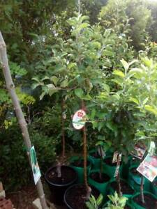 Dwarf Fruit Trees In Adelaide Region Sa Plants Gumtree Australia Free Local Clifieds