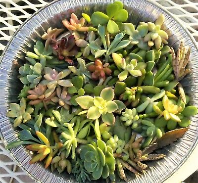 30 Succulent Cuttings TINY MINI Fairy Garden Wedding Party Favors