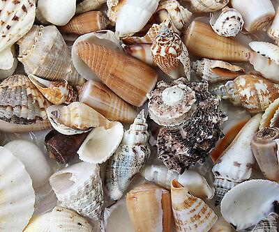 Muscheln Mix Kiloware 1000g verschiedene Muscheln 3 bis 8 cm