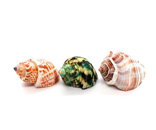 "Natural Color Hermit Crab Shells, Craft Shells 2""-3"" Free Shipping"