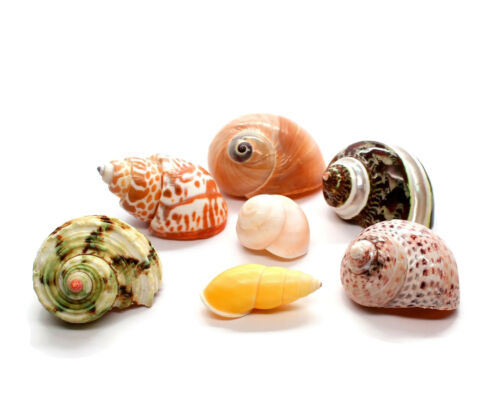 """XL Assorted 7 Turbo Hermit Crab Shells 1""""-2.5"""" (opening 5/8""""-1"""") Free Shipping"""