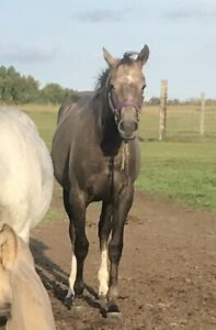 1.5 year old filly