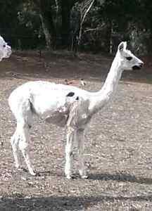 Alpacas for Sale - Pregnant Females & Pets Mount Barker Area Preview