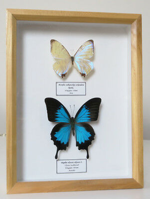 Morpho butterflies for sale | Blue Morphos