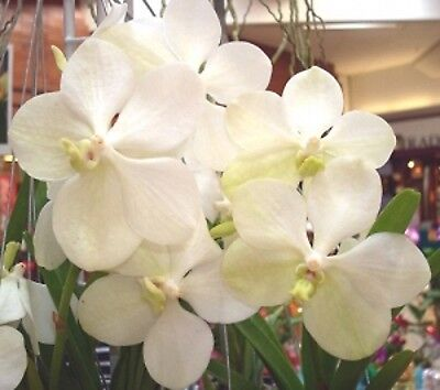 Vanda  Ascocenda  Princess Mikasa White Angel  Orchid Plant Shipped In 3