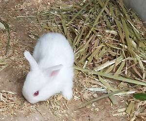 Easter is approaching - Pure white bunnies for sale Wagaman Darwin City Preview