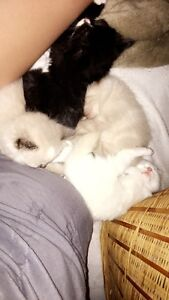 Gorgeous Ragdoll Kittens Available