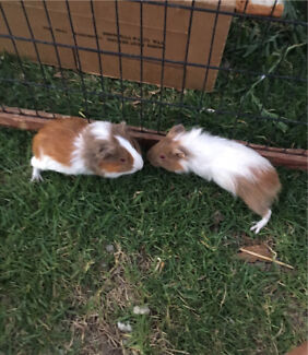 2 Young male guinea pigs for sale