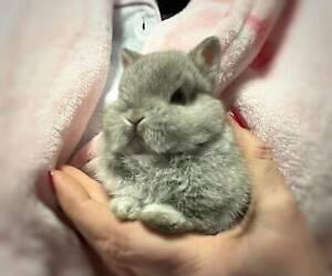 ❤️ The littlest Rabbit Of All Genuine Purebred Netherland Dwarf ❤️