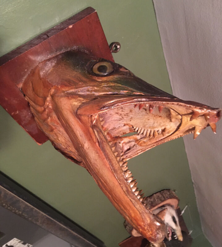 Antique Barracuda taxidermy fish Head mount One Ugly Mean Looking Rare Piece