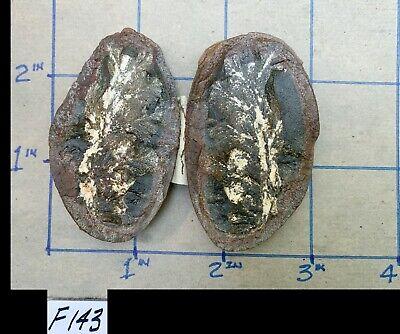 ☆ RARE - 2-1/2 Inch - MAZON CREEK RHACOPHYLLUM Fern Fossil ☆ Large & NICE ☆