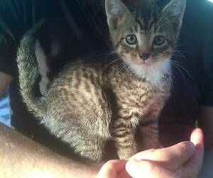 RESCUED Kittens- desexed, m/chip, wormed, flea treated Waratah Newcastle Area Preview