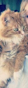 Female Orange Long-Haired Cat Needs New Forever Home!