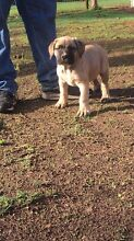 Boerboel puppies ( South African Mastiff ) Gawler Gawler Area Preview