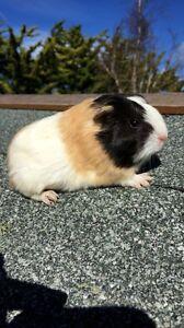 Beautiful Young Sheltie Guinea Pigs Swanpool Benalla Area Preview