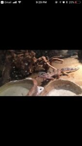 2 baby leopard geckos with full setup