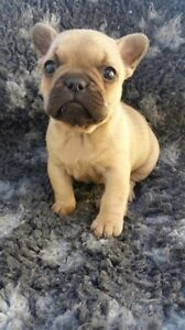 Beautiful Fawn Frenchie puppies for sale Cootamundra Cootamundra Area Preview