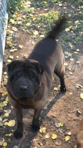 Purebred female shar pei for sale