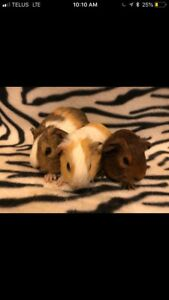 BEWARE of the people breeding and selling baby guinea pigs