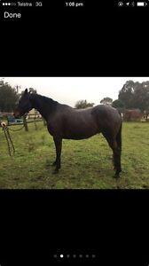 REG STOCK HORSE! Swan Reach East Gippsland Preview