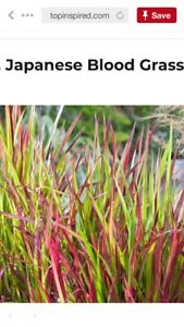 Looking for Japanese Blood Grass