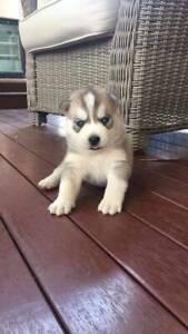 Husky pup female