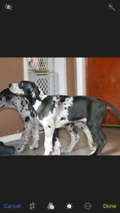 Great Dane Pup for sale.