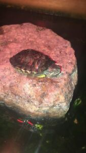 Tortue oreille rouge