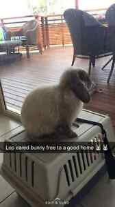 Female lop eared bunny looking for a good home Belrose Warringah Area Preview