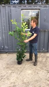 10 Cherry Laurel / Prunus Rotundifolia Hedging Plants 4 - 6ft *Seconds*