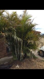 2x Mature Golden Cane Palm Trees St Helens Park Campbelltown Area Preview