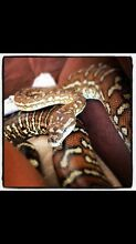 Free snake with purchase of enclosure Mermaid Beach Gold Coast City Preview