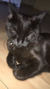 Giveaway 5  month old cat Murrumba Downs Pine Rivers Area Preview