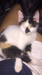 Beautiful female kitten give away Newtown Ipswich City Preview