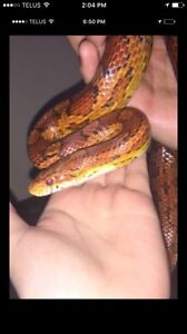 Male red corn snake