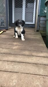 Boarder collie pup Buxton Wollondilly Area Preview