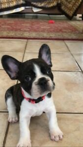 ANKC Purebred Frenchie pup
