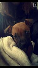 Staffy puppy free to good Tamworth Tamworth City Preview
