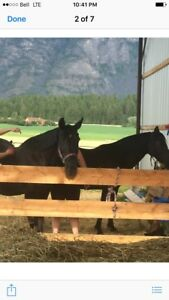 2 Free Mares to a good home only!